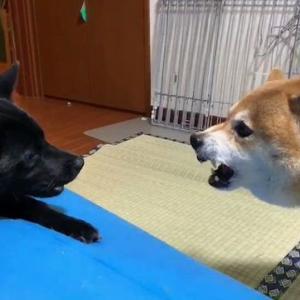 メス犬同士の喧嘩をオス犬が止めようとした結果→
