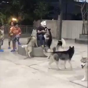 ハスキー集団の前で犬のマスクを被った結果wwwww