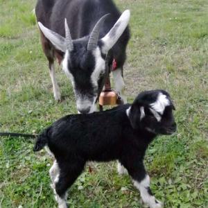 ヤギの赤ちゃん誕生