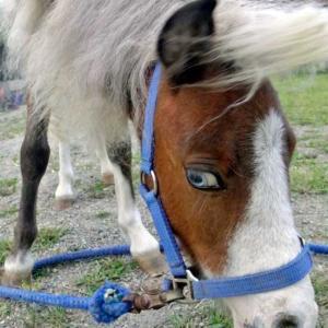 ブルーアイの仔馬
