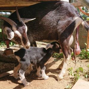 仔山羊誕生