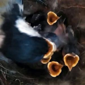 孵化後11日のシジュウカラ