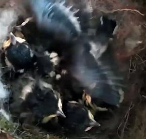 孵化13日シジュウカラ