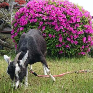 臨月山羊さん