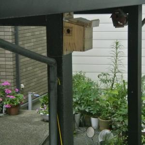 玄関先カーポート巣箱シジュウカラ巣立ち