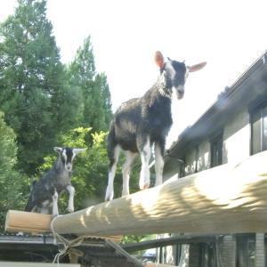 丸太橋で遊ぶ子ヤギ