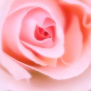 ローズ(バラ)の効果、特徴 昔から女性達に愛されてきた香り(アロマ精油メモ013)