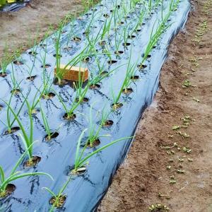 玉ねぎの追肥、ジャガイモの植え付け!