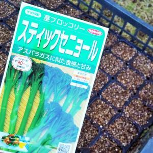 ステイックセニョール(茎ブロッコリー)の  種蒔き!