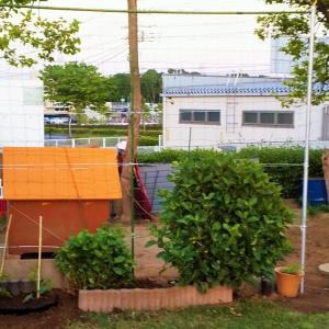 ゴーヤの植付とネット張り!マクワ瓜の発芽!