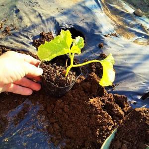 マクワ瓜の植え付け! カボチャの摘芯!
