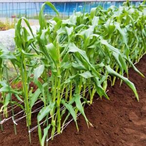 トウモロコシの追肥、土寄せ!トマトの苗!