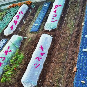 12月の菜園!そら豆の種まき〜発芽!