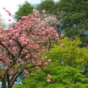 八重桜を眺めながら。マクウィリアムズ ハンウッド・エステイト シャルドネ