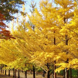 黄色の世界を貸切♪いちょう並木をおさんぽ♪