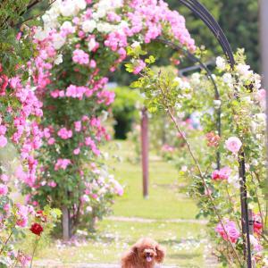 猪苗代ハーブ園♪薔薇のアーチ最高♪