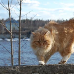 ノルウェージャンフォレストキャットの飼い方や価格をご紹介します!