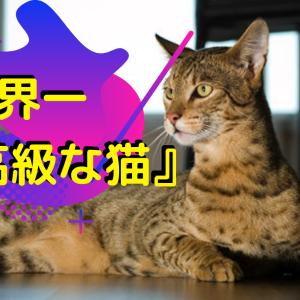 【世界1位】高額な猫「アシェラ」の特徴や販売店をご紹介!
