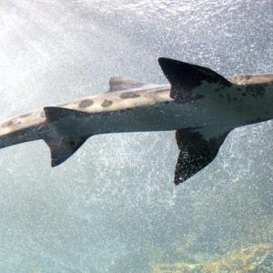 海洋酸性化がサメに及ぼす影響【二酸化炭素・環境問題】