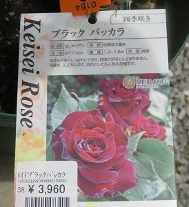 ☆ブラック バッカラが咲きましたぁ~~~♪