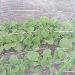 ☆白菜を定植しましたぁ~~~♪