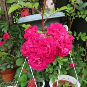☆赤いミニ薔薇~~~♪