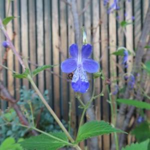 ☆青いカリガネソウが咲きました♪
