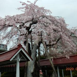 もう少しで、桜が満開です