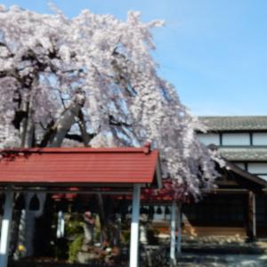 枝垂れ桜が満開になりました