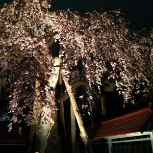 境内の桜  ライトアップしました