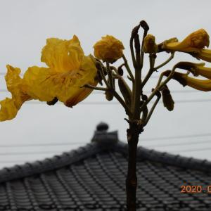 ブラジル原産の樹木イペー 日本北限での開花