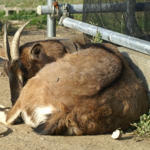 第21回日本山羊研究会に参加しました