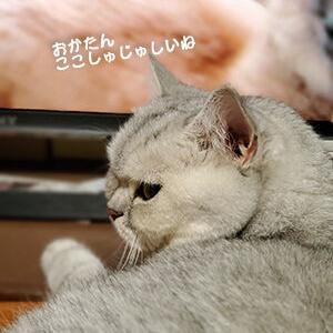 しゅじゅしい猫が観るのは「志村どうぶつ園」