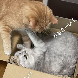 段ボール温泉で猫は猫パンチを繰り出す