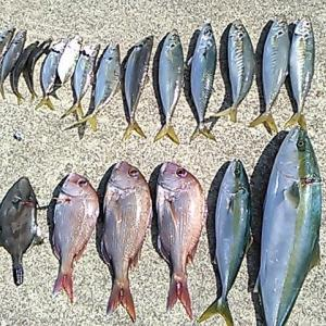 沼島の真鯛シーズン到来!
