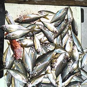 沼島の釣り 狙いはブランド魚「真アジ」!
