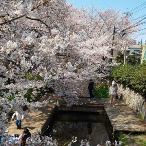 桜も今週で見納め
