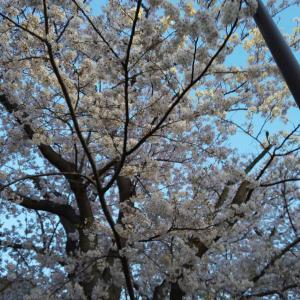 寄り道したら桜が満開🌸