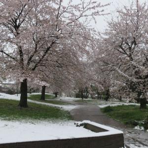 満開の桜と春の雪とコロナ疲れ