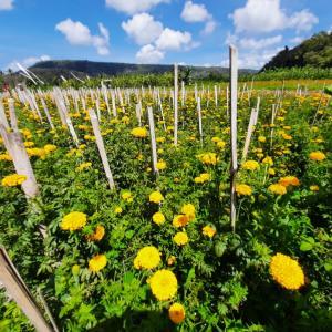 お供え用のお花畑@バリ島
