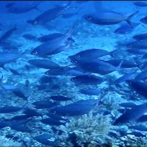 バリ島 ダイビング アメッド 〜 ササムロの群れが凄すぎた! 〜
