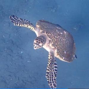 バリ島アメッドでシュノーケルでカメと泳ぐ