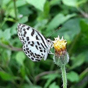 初めて見た蝶々ゴイシシジミ@バリ島アメッド