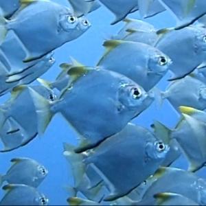 バリ島アメッドで絶対に見てほしいお魚!ヒメツバメウオの群れ!