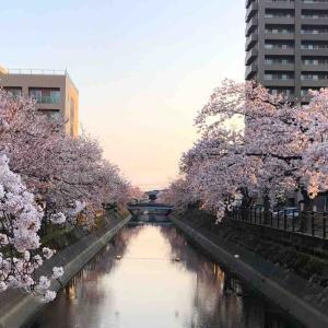 桜満開@新潟県長岡市
