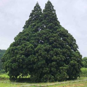 小杉に大杉(トトロの木)@山形県鮭川村