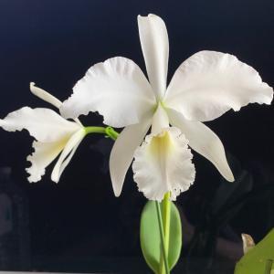 C. labiata alba 咲きました