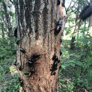 1本の木にこんなにカブトムシが集まるの?