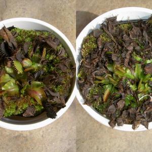 本日は、Dionaea muscipula 'rosette'です。