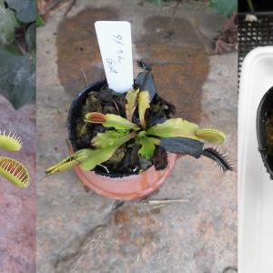 本日は、Dionaea muscipula Giantです。